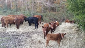 small group of cows, red angus and durham reds, 8 in all in Fort Polk, Louisiana