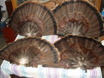 4 Cured Turkey Fans for Decoys in Fort Campbell, Kentucky