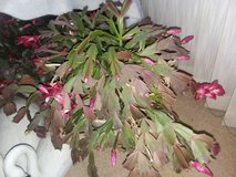 FREE christmas cactus in Kankakee, Illinois