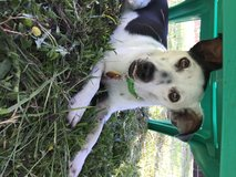 Rat Terrier Mix ISO Loving Home in Beaufort, South Carolina