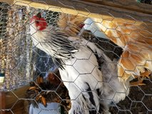 Wyandotte Rooster in Fort Campbell, Kentucky