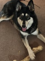 Olive-3 year old husky in Travis AFB, California