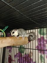 Sugar Glider Joey in Fort Campbell, Kentucky