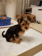 Yorkie welpen in Ansbach, Germany
