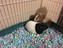 2 male guinea pigs in Oceanside, California