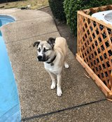 Male Dog in Vacaville, California