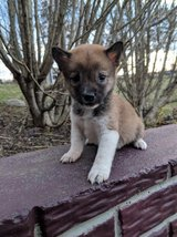 Chunky Shiba Inu Puppies Ready To Go Now in Lemoore NAS, California