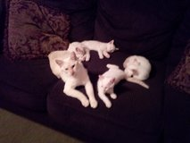 Pure Bred Siemese Kittens in Fort Campbell, Kentucky