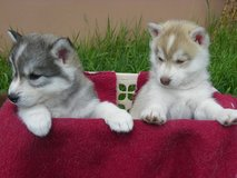 Kc Registered Siberian Husky Pups in Dover, Tennessee