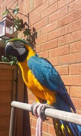 Blue & Gold Macaw in Los Angeles, California