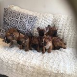 4 Beautiful French Bulldogs 2 Males 2 Females in Los Angeles, California