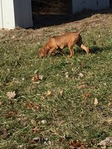 redbone Coonhound puppy in Rolla, Missouri