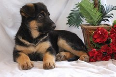 male and female german shepherd puppies in Sugar Land, Texas