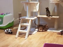 Top Quality Bengal Kittens Available in Hemet, California