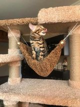 Top Quality Bengal Kittens Available text us (4092101567 in Hemet, California