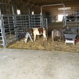 Miniature Red and White Paint  Colt in Fort Leonard Wood, Missouri