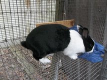 Rabbit (Dutch Female) in Cleveland, Texas