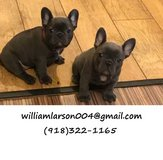 BGFHFEE  French Bulldog puppies in Brookfield, Wisconsin