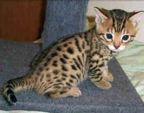 Bengal Kittens available pleas check our website for more details http://jeffpet.epizy.com/?i=1 in Wiesbaden, GE