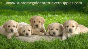 Golden Retriever puppies for sale in Ansbach, Germany