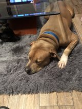 pit bull in Fort Campbell, Kentucky