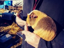 Female Guinea Pig in Fort Leonard Wood, Missouri