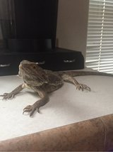 Bearded Dragon with tank & accessories in Alamogordo, New Mexico