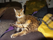 $500.00 REWARD!!! Lost Female Snow BENGAL CAT 8 yrs. old! in Yucca Valley, California