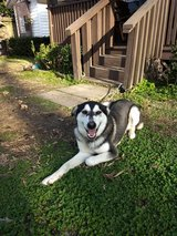 Husky mix in Cleveland, Texas