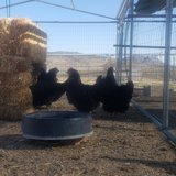 Organic laying hens in Yucca Valley, California