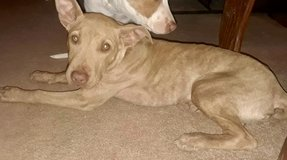 3 month old male puppy real sweetheart in Alamogordo, New Mexico