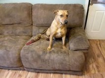 Female Lab mix 1yr or under in Elgin, Illinois