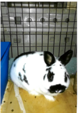 dwarf and mini rex and polish bunnies need homes in Batavia, Illinois