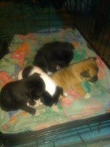 Full blooded Chihuahuas puppies in Lawton, Oklahoma