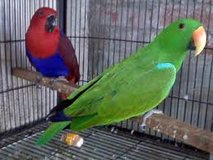 lovely colored male and female erectus parrots for adoption in Saint Petersburg, Florida
