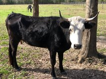 Cow FOR SALE in Leesville, Louisiana