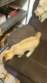 Lost small cat in Fort Knox, Kentucky