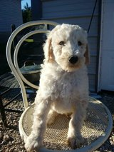 Poodle puppies in Fort Knox, Kentucky