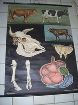 1960's German School Poster (Cows) in Wiesbaden, GE