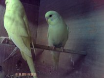 budgies in Lakenheath, UK