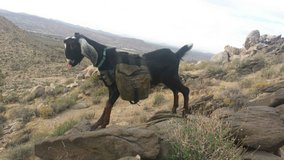 Pack / Hiking / Pet Goat in Yucca Valley, California