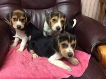 CUTE BEAGLE PUPPY FOR SALE in Jacksonville, Florida