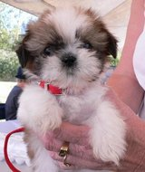 AWESOME SHIH TZU PUPPY FOR SALE in Jacksonville, Florida