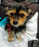 Yorkie mix frmale in Baytown, Texas