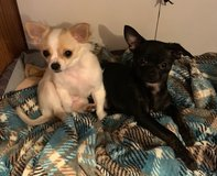 Applehead Chihuahuas in Fort Leonard Wood, Missouri