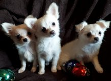CUTE CHIHUAHUA PUPPY READY NOW FOR SALE in Jacksonville, Florida