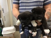 FRIDAY AKITA PUPPY READY NOW FOR SALE in Jacksonville, Florida