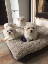 CUTE MALTESE PUPPY FOR SALE in Jacksonville, Florida