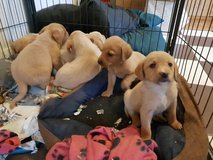 CUTE LABRADOR  READY NOW FOR SALE in Jacksonville, Florida