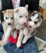 SIBERIAN PUPPIES FOR SALE in Jacksonville, Florida